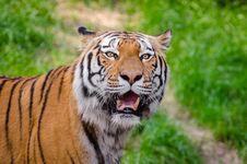 Free Siberian Tiger Stock Photography - 84925532