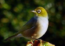 Free Waxeye Or Silvereye.NZ Royalty Free Stock Photography - 84925617