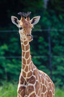 Free Giraffe Baby Royalty Free Stock Photography - 84925727