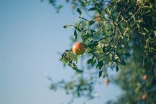 Free Apple Tree And Mistletoe Royalty Free Stock Photo - 84926405