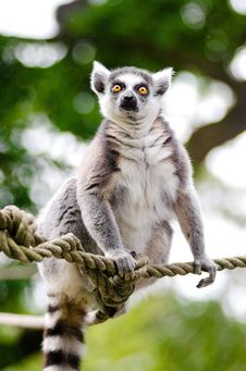 Free Ring-Tailed Lemur Royalty Free Stock Photos - 84926478