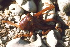 Free Tiny Red Octopus In Tidepool Stock Photos - 84926653