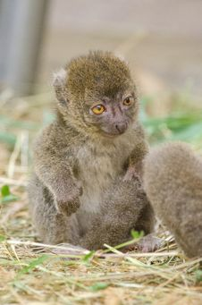 Free Greater Bamboo Lemur Baby Stock Images - 84926694