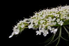 Free Queen Anne S Lace Royalty Free Stock Image - 84927066