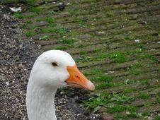 Free Goose Head Royalty Free Stock Photos - 84927498