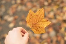 Free Tulip Tree Leaf Stock Image - 84927861