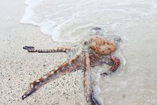 Free White Orange And Black Octopus On White Sea Sand During Daytime Royalty Free Stock Photos - 84927888