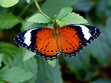 Free The Leopard Lacewing &x28;Cethosia Cyane&x29; Stock Photos - 84928063