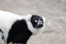 Free Black And White Ruffed Lemur Royalty Free Stock Photography - 84928357