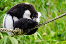 Free Black And White Ruffed Lemur Royalty Free Stock Images - 84928579