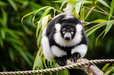 Free Black And White Ruffed Lemur Royalty Free Stock Image - 84928736