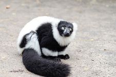 Free Black And White Ruffed Lemur Royalty Free Stock Photography - 84928857