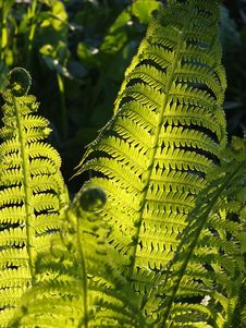 Free Fern Leaves In Sunshine Stock Photo - 84929140