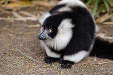 Free Black And White Ruffed Lemur Stock Photo - 84929190