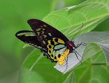 Free Cairns Birdwing On Leaf. Stock Photography - 84929192