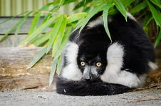 Free Black And White Ruffed Lemur Stock Images - 84929264
