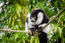Free Black And White Ruffed Lemur Royalty Free Stock Photography - 84929297