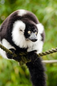 Free Black And White Ruffed Lemur Stock Photography - 84929312