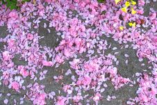 Free Fruit Tree Blossoms &x28;pink Snow&x29; Stock Images - 84929334