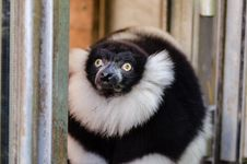 Free Black And White Ruffed Lemur Stock Photography - 84929342
