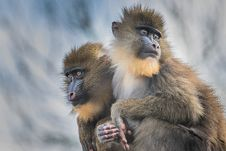 Free Mandrill 2016-01-14-00189 Stock Images - 84929394