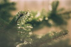 Free Spruce Tree Royalty Free Stock Images - 84929799