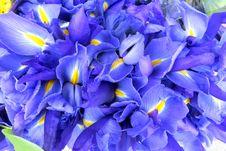 Free Blue Dutch Irises Royalty Free Stock Image - 84930276