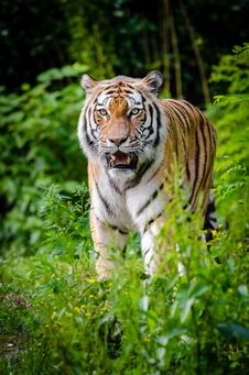 Free Siberian Tiger Royalty Free Stock Photos - 84930398