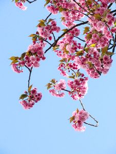 Free Low Angle View Of Pink Flowers Against Blue Sky Royalty Free Stock Image - 84930546