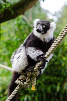 Free Black-and-white Ruffed Lemur Royalty Free Stock Photography - 84931387