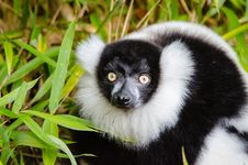 Free Black And White Ruffed Lemur Stock Images - 84931904