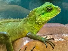 Free Portrait Of Green Lizard Royalty Free Stock Images - 84932009