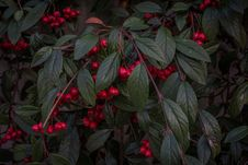 Free Bush With Red Berries Stock Photography - 84932532