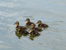 Free A Crew Of Ducklings! Royalty Free Stock Images - 84932639