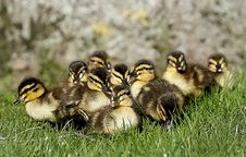 Free Ducklings. &x28;14&x29; Royalty Free Stock Image - 84932926