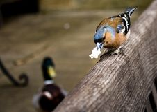 Free A Chaffinch Eating Royalty Free Stock Photography - 84932937