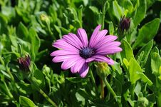 Free Purple Flower Among Leaves And Buds Stock Photos - 84933113