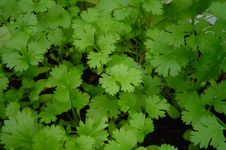 Free Coriander In A Close-up Stock Photo - 84933130