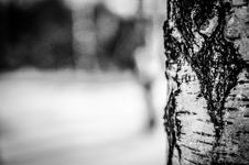 Free Birch Tree Royalty Free Stock Photography - 84933397