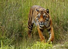 Free Sumatran Tiger Royalty Free Stock Photos - 84933568