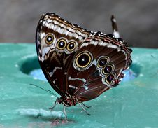 Free Owl Caligo Memnon Royalty Free Stock Image - 84933766