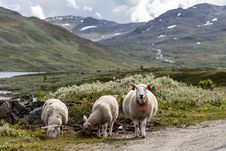 Free 3 White Sheep Standing Near On Green Grass In Front Of Green Mountains Stock Image - 84934481