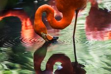 Free Flamingo Touching Water With Beak Stock Photography - 84935112