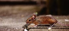 Free Mouse On Floor Stock Images - 84935484