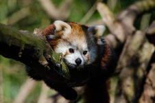 Free Raccoon On Tree During Daytime Royalty Free Stock Photos - 84935558