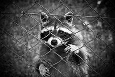 Free Raccoon Standing Behind Chain Link Fence Stock Photography - 84935592