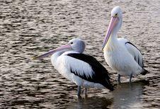 Free The Australian Pelican &x28;Pelecanus Conspicillatus&x29; Stock Images - 84936034