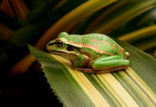 Free The Green And Golden Bell Frog Stock Photos - 84936173