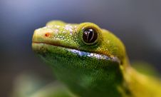 Free Northland Green Gecko.NZ Stock Photos - 84936183