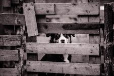Free Grayscale Photo Of A Dog Behind The Wooden Gate Stock Photo - 84936430